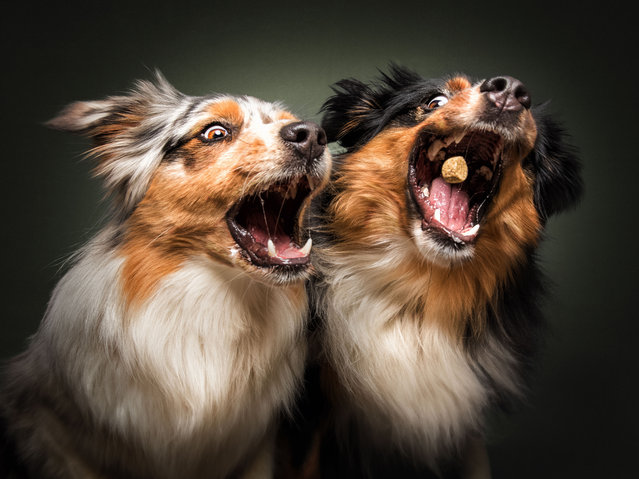 Australian Shepherds. (Photo by Vieler Photography/Caters News Agency)