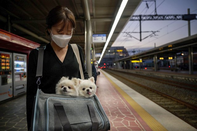 In a photo taken on October 7, 2020 a woman holds two dogs as she waits for a train in Suncheon. (Photo by Ed Jones/AFP Photo)