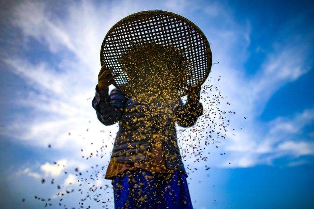 A Nepalese woman winnows rice grains during the harvest season on the outskirts of Kathmandu, Nepal on Thursday, October 8, 2020. (Photo by Skanda Gautam/Zuma/Picturedesk)