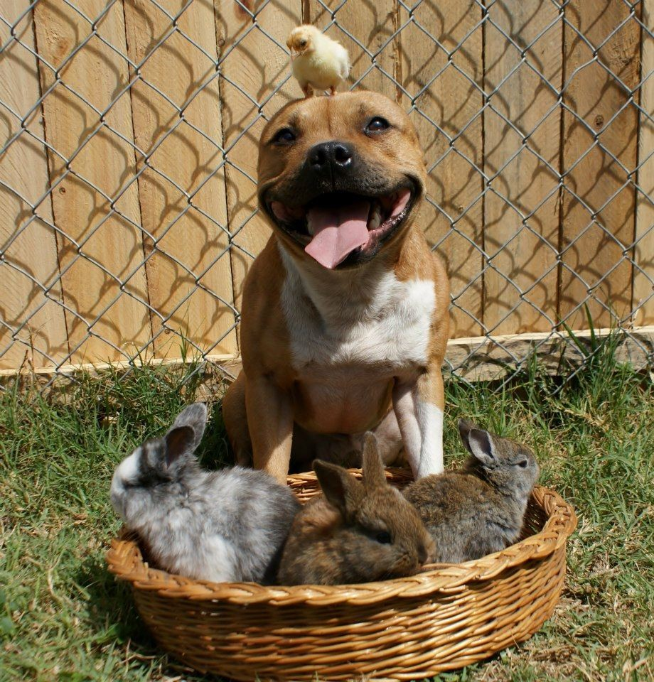 Meet Boom, the Pit Bull who Loves Birds and Rabbits