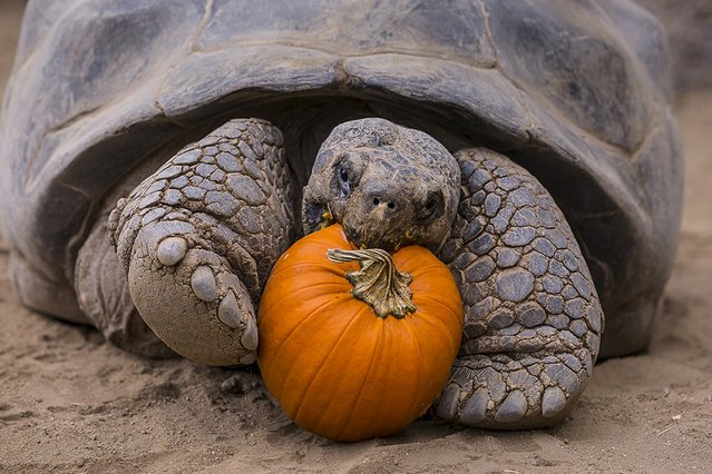 The San Diego Zoo's oldest resident, Galapagos tortoise Grandma who is estimated to be about 130 to 140 years old, celebrates Halloween with a pumpkin breakfast in San Diego, California in this October 28, 2015 handout photo. Galapagos tortoises are the giants of the tortoise world, with males weighing more than 500 pounds and females weighing an average of 250 pounds. The San Diego Zoo currently has 13 tortoises. (Photo by Ken Bohn/Reuters/San Diego Zoo)