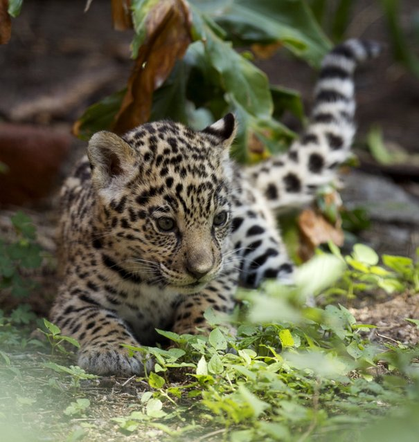 A jaguar cub is pictured at the Quito Zoo in Guaylabamba November 8, 2015. The cub is one of two jaguars born at the zoo in late September, according to local media. (Photo by Guillermo Granja/Reuters)