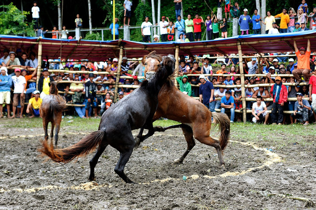 Villagers watch horse fighting on November 10, 2015 in the southern Philippine town of Lake Sebu, South Cotabato, Philippines. The sport of horse-fighting pits two stallions against each other during mating season by forcing them to fight until retreat or death over a mare in heat. Despite laws enacted in 1998 banning the sport of horse fighting in the Philippines, many communities particularly on the island of Mindanao still celebrate the sport as a long time cultural tradition. (Photo by Jeoffrey Maitem/Getty Images)