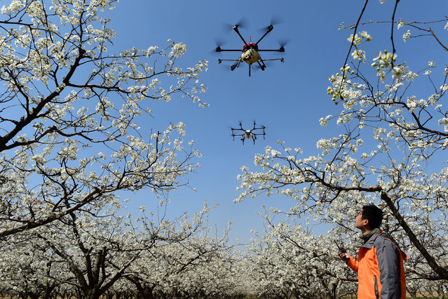 A worker looks on as drones are used to pollinate pear blossoms at a pear farm in Cangzhou, Hebei province, China April 9, 2018. (Photo by Reuters/China Stringer Network)