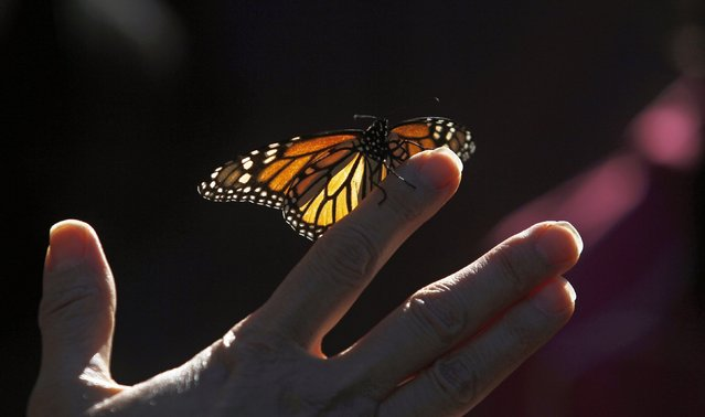 A monarch butterfly rests on a visitor's hand at the Monarch Grove Sanctuary in Pacific Grove, California, December 30, 2014. (Photo by Michael Fiala/Reuters)