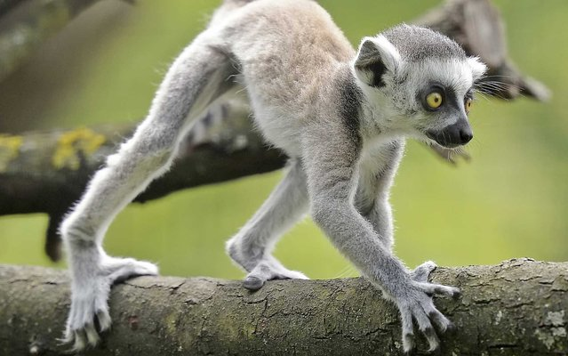Seven weeks old ring-tailed lemur (Lemur catta) in the Zoo in Erfurt, central Germany, Friday, May 17, 2013. (Photo by Jens Meyer/AP Photo)