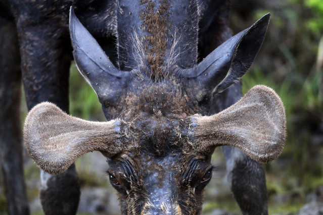 Velvet covers the growing antlers of a bull moose seen feeding at the Umbagog Wildlife Refuge, Thursday, May 31, 2018, in Wentworth's Location, N.H. The antlers will continue to grow through autumn. The largest antler spread for a moose taken by hunter in New Hampshire was 68.5 inches. (Photo by Robert F. Bukaty/AP Photo)