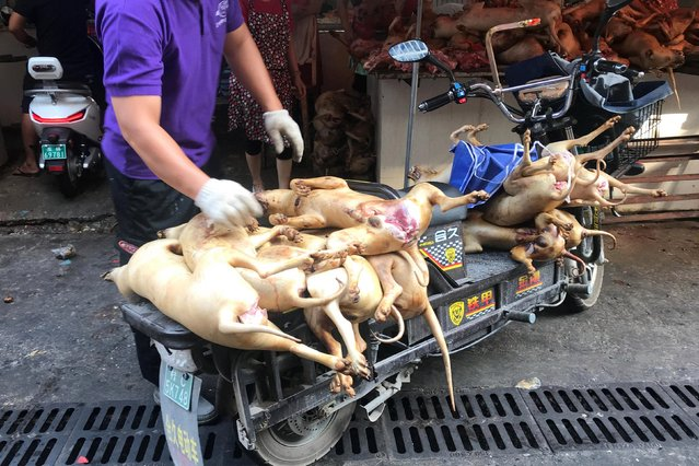 "Butchered dogs are transport to a vendor's stall at a dog meat market ahead of a local dog meat festival in Yulin, Guangxi Autonomous Region, China on June 20, 2018. The event is popular with hungry locals who believe the traditional meat is good for the body. It can be traced back to 2009 and it is believed 10,000 dogs – many of them stolen and strays – were killed for previous festivals. But the gala been slammed by animal rights activists who are seeking new ways to pressurise organisers to cancel the annual festival. Residents in the southern city defended eating the meat to celebrate the summer solstice on Thursday. The 10-day event, dubbed the lychee and dog meat festival by residents, has become a symbol of hatred for dog lovers, who every year confront those who buy, sell and eat canines. In recent years, activists have raided slaughterhouses and intercepted truckloads of dogs in efforts to limit the number of animals killed. They branded the dog meat trade is inhumane and unhygienic, pointing to videos of dogs caught with wire lassos, transported in tiny cages and slaughtered with metal rods. Yulin resident Wang Yue said: ""Yulin's so-called lychee and dog meat festival is just a popular custom of ours. Popular customs themselves cannot be right or wrong. Those scenes of bloody dog slaughter that you see online, I want to say that the killing of any animal will be bloody. I hope people can look at this objectively"". But animal protection group Humane Society International said in a statement the festival was ""manufactured"" by the dog meat traders and that dog meat was not part of mainstream food culture in China. The event is not sanctioned by Yulin authorities, but police said their efforts to ""maintain stability"" had reduced the number of activists in the city this year. (Photo by Tyrone Siu/Reuters)"