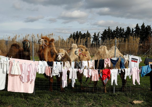 Camels stand near laundry on a clothesline at the Royal Circus home base in Senas as circus shows remained canceled as part of COVID-19 restrictions in France, February 9, 2021. William Kerwich, owner of the Royal Circus and President of the Circus and Shows Animals Union, also denounced an animal welfare bill which is debated by French lawmakers that would ban using wild animals in traveling circuses and keeping dolphins and whales in captivity in marine parks. (Photo by Eric Gaillard/Reuters)