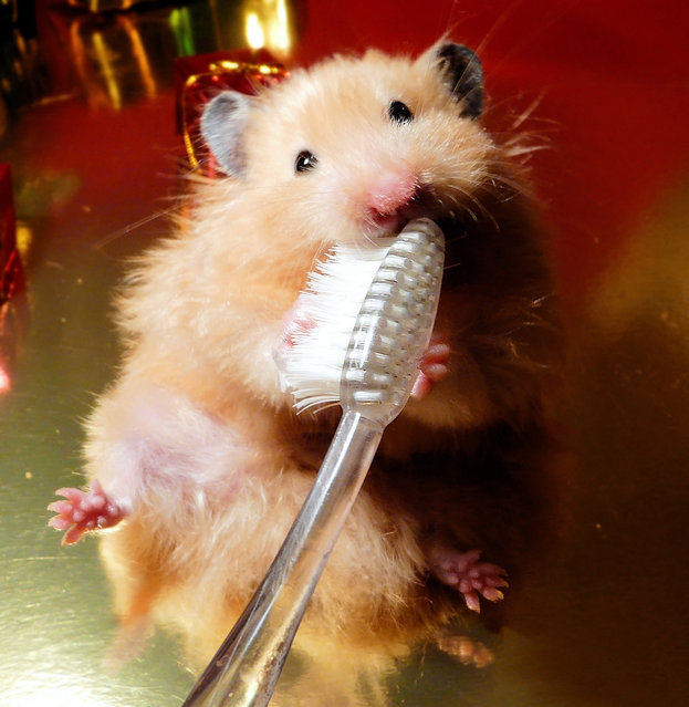 Female Syrian hamster brushing her teeth with toothbrush. (Photo by Pyza/Puchikumo/Getty Images)
