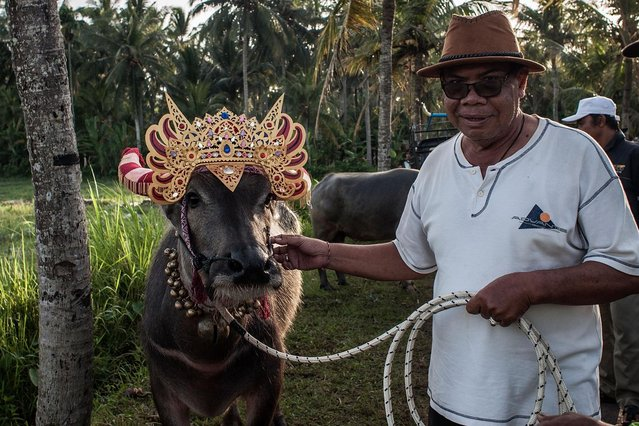 "A man poses with his water buffalo during ""Mekepung"" traditional water buffalo race on July 28, 2013 in Jembrana, Bali, Indonesia. Meaning ""to chase around"", Mekepung was originally designed as a fun game for peasants to spend their free time when the harvest time was ended, as they were waiting for the start of the planting season. (Photo by Putu Sayoga/Getty Images)"