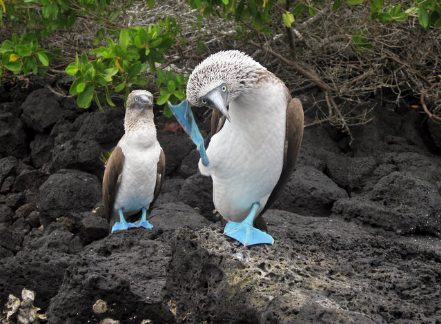 """""""Dancing boobies. Two blue-footed boobies in the Galapagos Islands"""". (Photo by Jessie Reeder)"""