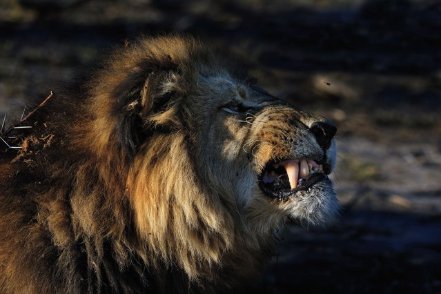 An angry lion rises up snarling his teeth in a bid to scare away a predator – a pesky bee. (Photo by Alex Bernasconi)