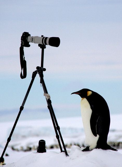 An Emperor penguin investigates the photographers tripod. (Photo by Dafna Ben Nun/Caters News)
