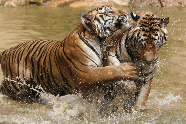 Tigers play at the Tiger Temple in Kanchanaburi province, west of Bangkok, Thailand, February 25, 2016. (Photo by Chaiwat Subprasom/Reuters)