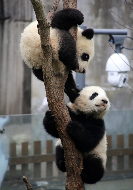 Baby giant pandas play on a tree at Chengdu Research Base of Giant Panda Breeding in Chengdu, Sichuan province, China, January 22, 2017. (Photo by Jason Lee/Reuters)