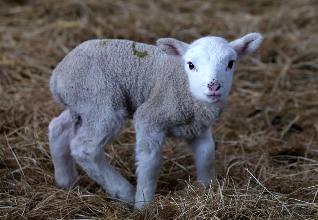 A spring lamb belonging to Somerset farmer Ian Merry looks out from a its enclosure in a building at the Bath and West Showground near Shepton Mallet on March 3, 2014 in Somerset, England. The lamb's mother was originally brought to the Showground as part of a community rescue effort, after the 43-year-old farmer, whose family has farmed for five generations, had to leave his farm near Burrowbridge on the Somerset Levels after it was badly affected by flood water. (Photo by Matt Cardy/Getty Images)