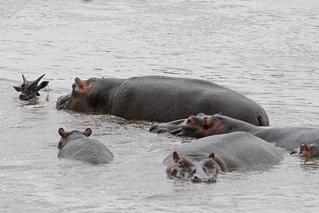 More hippos join and the herd scare away the crocodile as it slips beneath the murky water. (Photo by Vadim Onishchenko/Caters News)