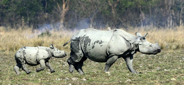 A baby Rhino plays with his mother in the Pobitora Wildlife sanctuary in Morigaon district of Assam, about 50 km away from Guwahati city, India, 06 March 2014. Pobitora has the highest density population of Rhinos in the world, presently numbering about 93 according to 2012 Rhino census in just 38.8 Sq. km. area. (Photo by  EPA/STR)