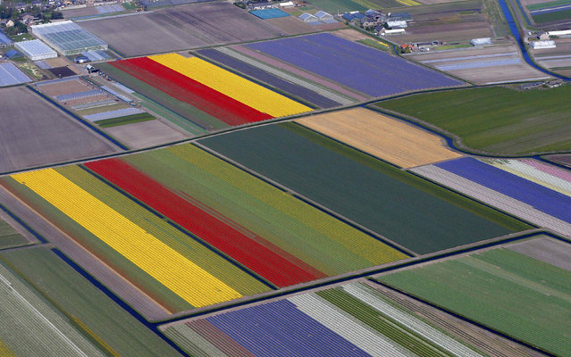 Aerial view of flower fields near the Keukenhof park, also known as the Garden of Europe, in Lisse April 9, 2014. Keukenhof, employing some 30 gardeners, is considered to be the world's largest flower garden displaying millions of flowers every year. (Photo by Yves Herman/Reuters)