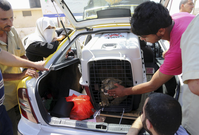Palestinians gather to see a lion inside a cage as Ibrahim Al-Jamal, 17, says goodbye to Mona, the female lion cub, as they wait to leave Gaza to the Erez border crossing between Israel and the Gaza Strip, in Beit Hanoun, in the northern Gaza Strip, Friday, July 3, 2015. (Photo by Adel Hana/AP Photo)