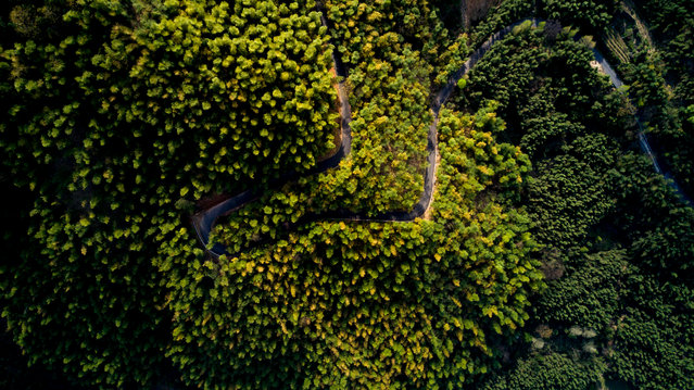 This picture taken on April 12, 2017 shows an aerial view of a street through a bamboo forest near Dashan village near the city of Lin'an, Zhejiang Province. (Photo by Johannes Eisele/AFP Photo)