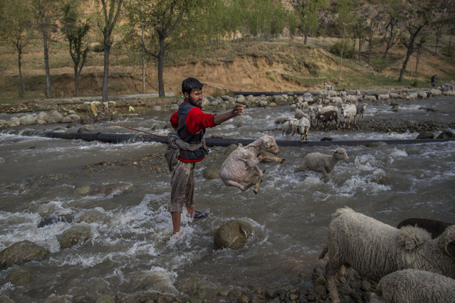 A Kashmiri shepherd tosses a lamb after rescuing it from being washed away while crossing a stream with his flock, in Harshan village 35 Kilometers (22 miles) north of Srinagar, Indian controlled Kashmir, Tuesday, April 18, 2017. With its sufficient pasture lands, sheep rearing is popular in the state of Jammu and Kashmir. (Photo by Dar Yasin/AP Photo)