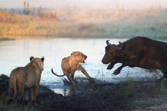 A herd of buffalo launched a bloody battle against a hungry lion attacking their young – and managed to save a tiny calf caught in its jaws. (Photo by Ben Cranke/Solent News & Photo Agency)