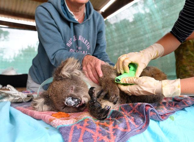 Vets and volunteers treat koalas at Kangaroo Island Wildlife Park on Kangaroo Island, southwest of Adelaide, Australia, January 10, 2020. (Photo by David Mariuz/AAP Image via Reuters)