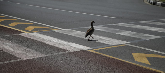 An Egyptian Goose uses a pedestrian crossing through a busy traffic junction in central Cape Town September 25, 2013. (Photo by Mike Hutchings/Reuters)
