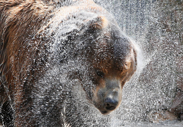 Buyan, a male Siberian brown bear, shakes off water as he cools down under a stream of water sprayed by an employee in its enclosure on a hot summer day, with the air temperature of about 33 degrees Celsius (91.4 degrees Fahrenheit) at the Royev Ruchey zoo on the suburbs of Krasnoyarsk, Siberia, Russia, June 14, 2016. (Photo by Ilya Naymushin/Reuters)