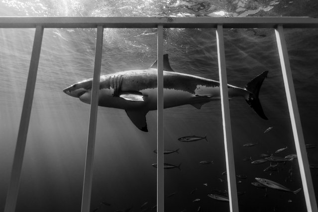 Great White Shark, Isla Guadalupe, 2012. (Photo by Todd Bretl)