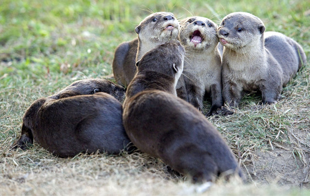 """Wild otter pubs in Tanjong Rhu, Singapore on July 14, 2016. They are called the """"Bishan10"""" because the family has grown from only two otters, spotted for the first time in Singapore's central area Bishan Park in 2014, to 10 now. The 13th International Otter Congress organised by International Union for Conservation of Nature (IUCN) was held in Singapore for the first time last week. (Photo by Then Chih Wey/Rex Features/Shutterstock)"""