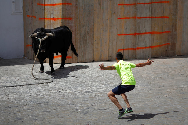 "A runner tries to get the attention of a bull, named Santon, during the ""Toro de Cuerda"" (Bull on Rope) festival at Plaza de Espana square in Grazalema, southern Spain, July 18, 2016. (Photo by Jon Nazca/Reuters)"