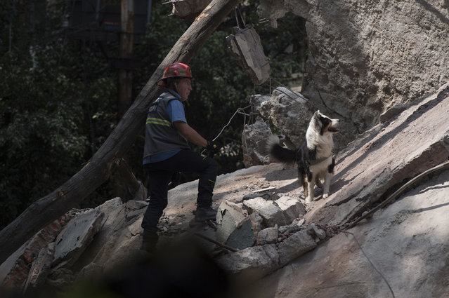 A rescuer searches for survivors with a dog a day after the magnitude 7.1 earthquake jolted central Mexico killing more than 200 hundred people, damaging buildings, knocking out power and causing alarm throughout the capital on September 20, 2017 in Mexico City, Mexico. The earthquake comes 32 years after a magnitude-8.0 earthquake hit on September 19, 1985.(Photo by Humberto Romero/Getty Images)