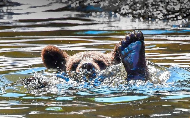 A bear cub cools off in a pond in the bear enclosure at Stockholm Zoo Skansen as the temperature passed 30 degrees Celsius on June 25, 2020. (Photo by Jonas Ekstromer/TT News Agency/AFP Photo)