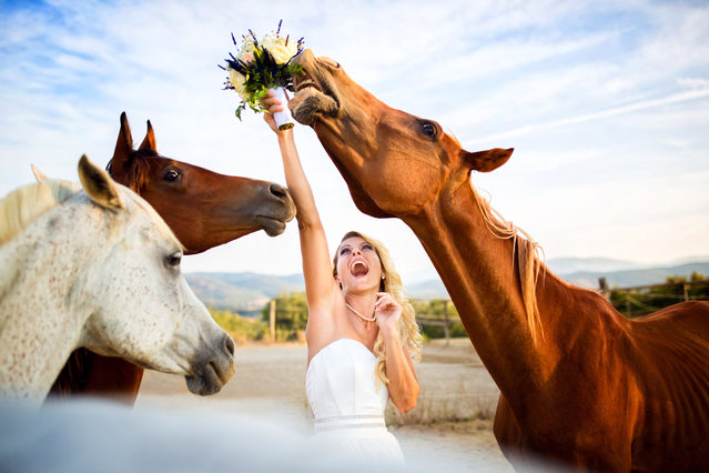 A horse eats a brides bouquet. (Photo by Fabio Mirulla/Caters News Agency)