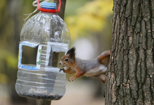 A squirrel tries to reach sunflower seeds in a bird feeder in Fili park in Moscow, Russia, 07 October 2014. (Photo by Yuri Kochetkov/EPA)