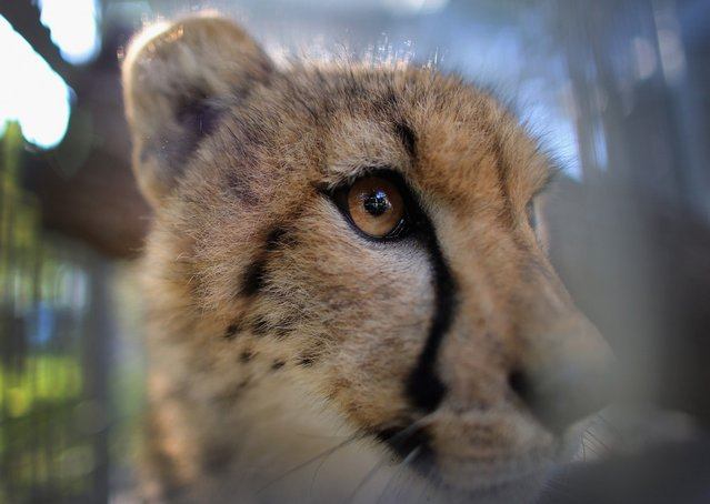One of two 9-month old Cheetahs is seen after it was released into a quarantine facility at Zoo Miami on November 29, 2012 in Miami, Florida.  The two sub-adult brothers who arrived today were captive-born on March 6th of this year at the Ann van Dyk Cheetah Centre just outside of Pretoria, South Africa. The Cheetahs, after being monitored and examined for a minimum of 30 days to insure that they are healthy and stable, will be featured in Zoo Miami's Wildlife Show at the newly constructed amphitheater and will continue the work of Zoo Miami's Cheetah Ambassador Program by making appearances off zoo grounds at a variety of venues including schools and civic organizations.  (Photo by Joe Raedle)