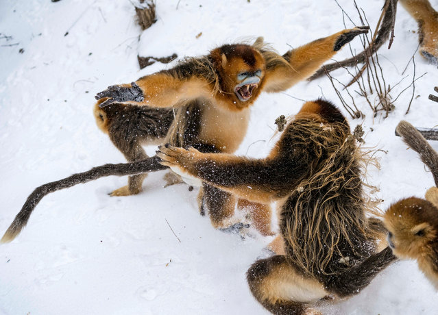 Golden monkeys play at a conservation base in Shennongjia, central China's Hubei Province, January 26, 2018. The golden monkey conservation base witnessed a snowfall recently. (Photo by Du Huaju/Xinhua/Barcroft Images)