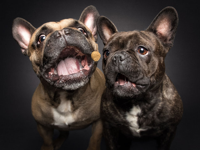 French Bulldogs. (Photo by Vieler Photography/Caters News Agency)