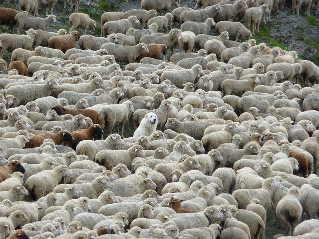 """On the last day of the Tour Du Mont Blanc, while coming over a high pass, I was confronted by this huge herd of sheep. Then I noticed this content, if somewhat bemused, dog in the middle of them"". (Photo by Christina Bennett/The Guardian)"