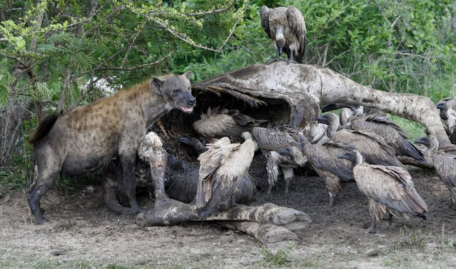 A hyena and a group of vultures feed on the carcass of a giraffe killed by lions in South Africa's Kruger National Park, in this December 14, 2009 file picture. Africa's vultures are in serious decline, according to a report released on October 29, 2015, a situation that could impact human health and livestock as populations of other scavengers such as rats and jackals could rise as a result. (Photo by Mike Hutchings/Reuters)