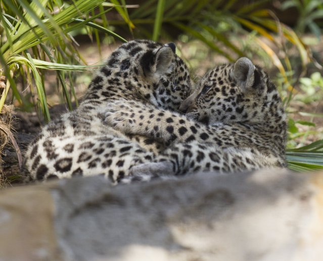 Jaguar cubs are pictured at the Quito Zoo in Guayllabamba November 8, 2015. (Photo by Guillermo Granja/Reuters)