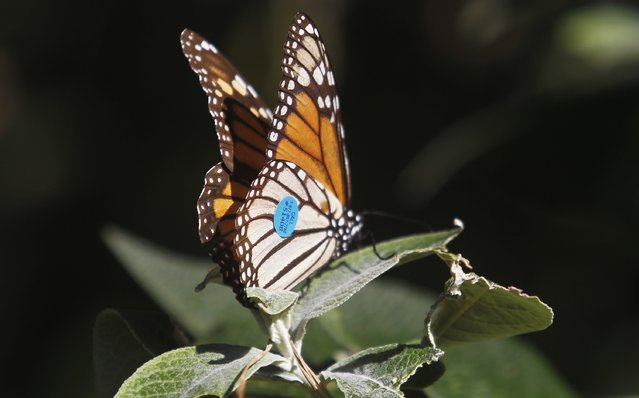 A tagged monarch butterfly perches on a plant at the Monarch Grove Sanctuary in Pacific Grove, California, December 30, 2014. (Photo by Michael Fiala/Reuters)