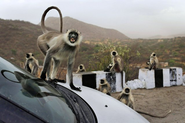 In this photo taken Sunday, May 12, 2013, a  wild gray  langur monkey scowls as it jumps on a car at a rest stop on a road near Leela, in the state of Rajasthan, India. (Photo by Kevin Frayer/AP Photo)