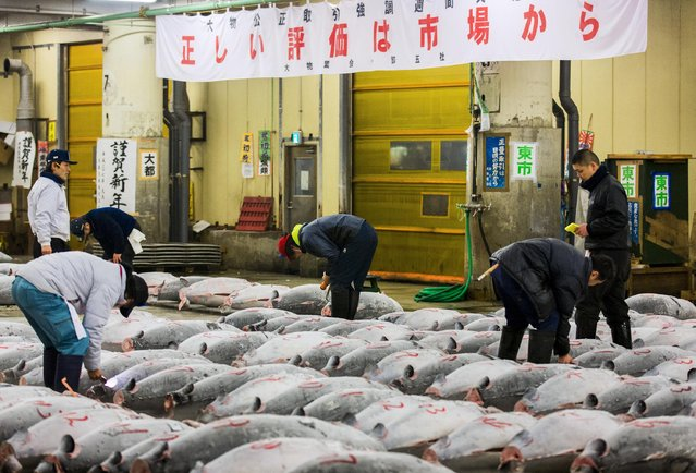 Wholesalers check the quality of frozen tuna displayed at the Tsukiji fish market before the New Year's auction in Tokyo January 5, 2015. (Photo by Thomas Peter/Reuters)