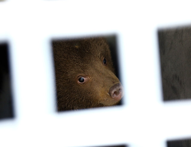 One of the three bear cubs who were found by the Bulgarian authorities in the wild and rescued at the Dancing Bears Park is pictured inside a bus near Belitsa, Bulgaria, May 23, 2018, before their relocation to a bear orphan station in Greece. (Photo by Stoyan Nenov/Reuters)