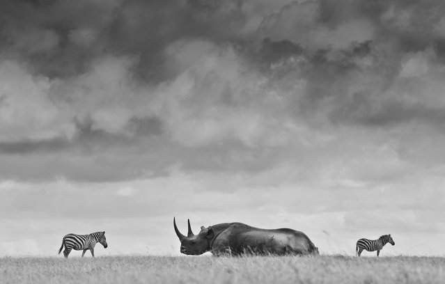 """Rhino under brooding sky"". A Black rhino and two plains zebra under an overcast sky on the plains of Laikipia, Kenya. (Photo and caption by Robin Moore/National Geographic Traveler Photo Contest)"