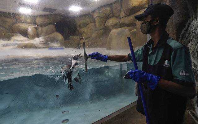 A staff member cleans glass as a Penguin is seen inside its enclosure at the Byculla Zoo in Mumbai, India, Sunday, February 14, 2021. The zoo is scheduled to reopen Monday after 11 months of closure due to the coronavirus pandemic. (Photo by Rafiq Maqbool/AP Photo)